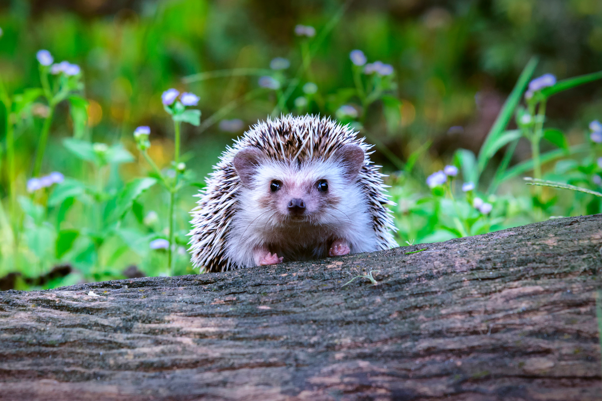 New Building Rules Protect Hedgehogs